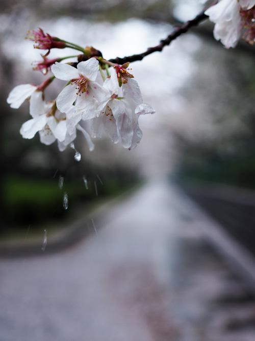 春の雨.jpg
