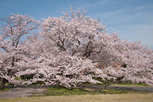船頭平河川公園の桜.jpg