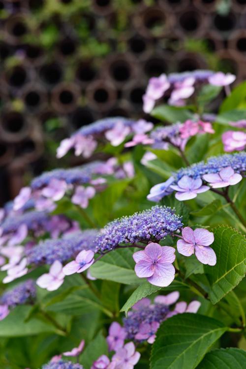 色褪せた紫陽花.jpg