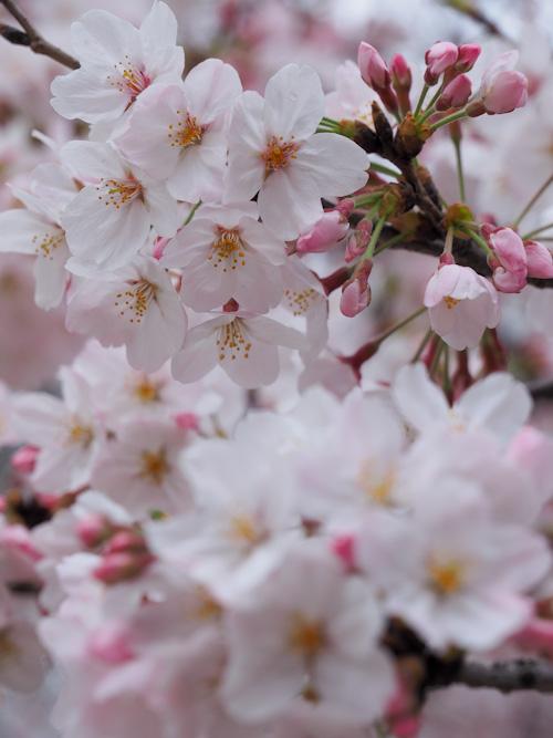 近所の桜.jpg
