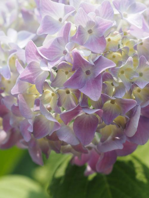 六月の花.jpg