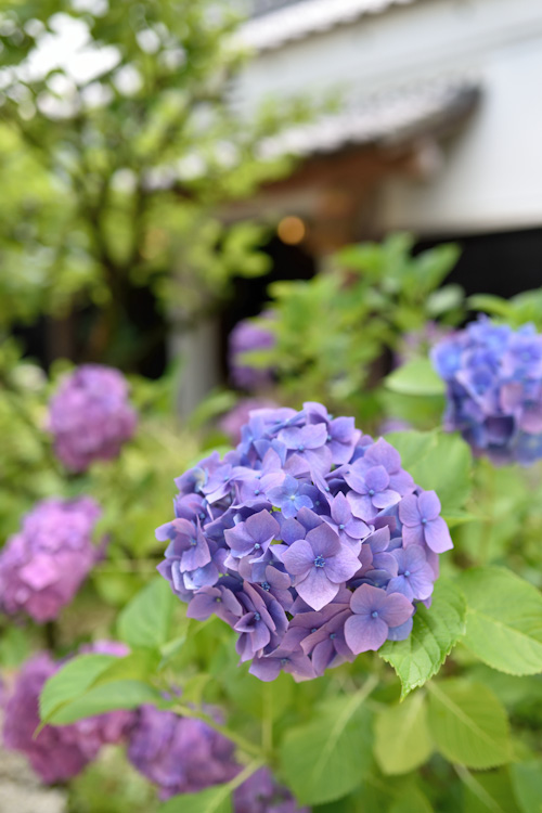 屋敷の紫陽花.jpg