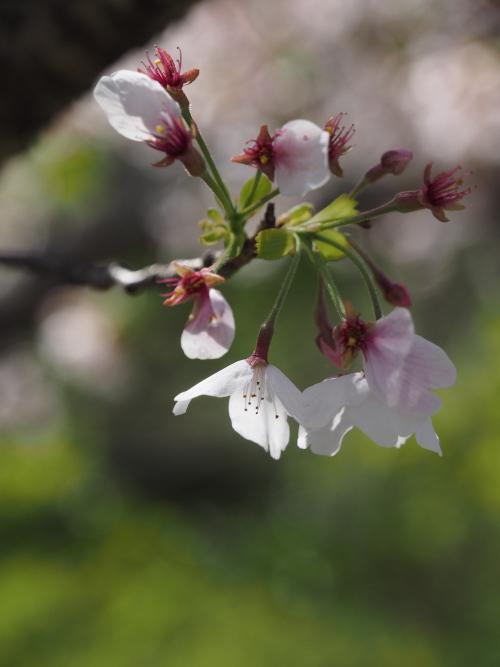 散り急ぐ桜.jpg