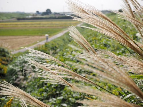 農道のススキ.jpg