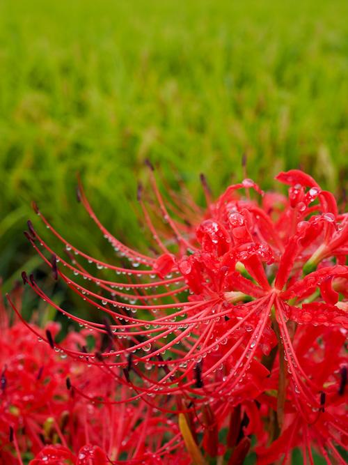 雨の日の彼岸花.jpg